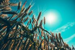Tarwestro die tot de zon toenemen stock fotografie