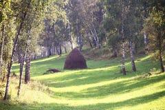 Tas de foin dans une forêt de bouleau Photo libre de droits