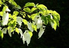 Taschentaschentuchbaum Stockfotos