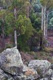Tasmaanse bosbomen en keien Stock Foto's
