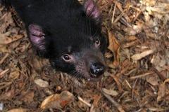 Tasmaanse Duivel Stock Afbeelding