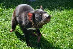 Tasmaanse duivel bij gras stock fotografie