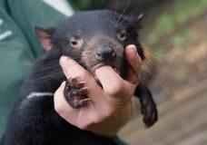Tasmaanse Duivel die door menselijke vinger wordt getroost te zuigen Stock Afbeeldingen
