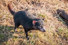 Tasmaanse duivel die voedsel zoeken Stock Afbeeldingen