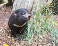 Tasmaanse Duivel, Featherdale-het Wildpark, NSW, Australië Royalty-vrije Stock Afbeeldingen