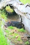 Tasmaanse Duivel in logboek royalty-vrije stock afbeeldingen