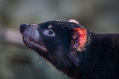 Tasmaanse duivel met een rood oor Royalty-vrije Stock Foto's