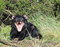 Tasmaanse Duivels Open mond Royalty-vrije Stock Afbeelding