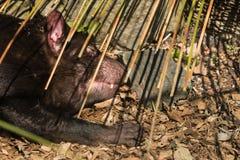 Tasmaanse Duivelsslaap Stock Afbeeldingen