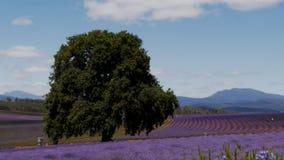 Tasmaanse lavendelgebieden stock footage
