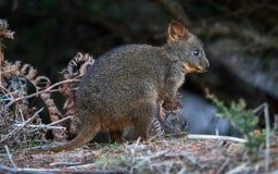 Tasmaanse Pademelon Royalty-vrije Stock Foto's