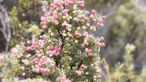 Tasmaanse roze bergbes stock videobeelden