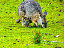 Tasman Wallaby. Grazing, Joy head out of the pouch, Tasmania, Australia stock image
