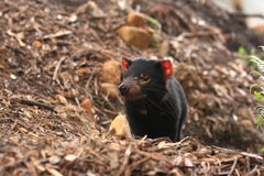 Tasmania Devil Stock Photography