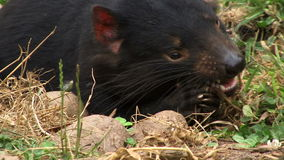 Tasmania devil chewing on food extreme close up. Tasmanian devil extreme close up chewing on food stock video footage