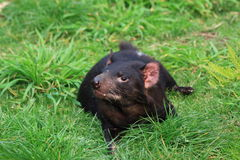 Tasmania devil. A female Tasmania devil laying on the lawn Stock Photos