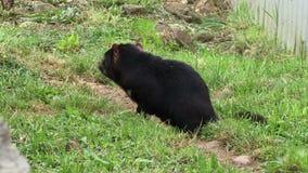 Tasmania devil sitting on hillside. Tasmanian devil close up on small incline stock video footage