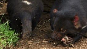 Tasmania devils chewing on food. Tasmanian devils close up chewing on food stock video footage