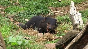 Tasmania devils eating close by log. Tasmanian devil close up chewing on meat stock video footage