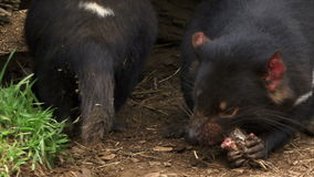 Tasmania devils eating close up showing teeth. Tasmanian devil close up chewing on meat stock footage