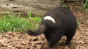 Tasmania devils fighting over food going into den. Tasmanian devil fighting over food and going into their den stock footage