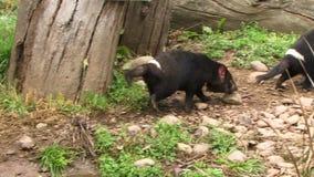 Tasmania devils running walking. Tasmanian devil close up running stock video