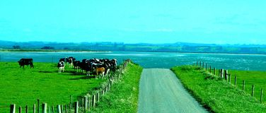 Tasmania Farmlamd. Beautiful rich farmland and healthy cows in Tasmania . Bordering on the ocean. Love, and peace and contentment Royalty Free Stock Photos