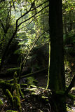 Tasmania forest Royalty Free Stock Image