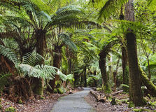 Tasmania Mt Field Disabled fern trees Stock Photography