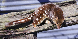 Tasmania Quoll horisontal Royalty Free Stock Images