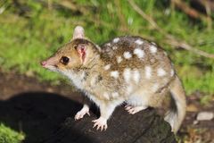 Tasmania Quoll Side Royalty Free Stock Photo