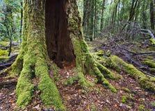 Tasmania tropikalny las deszczowy Franklin Obraz Royalty Free