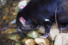 Tasmanialduivel het drinken Stock Afbeeldingen