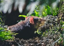 Tasmanian дьявол в диком стоковое фото rf