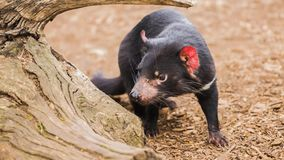 Tasmanian дьявол акции видеоматериалы