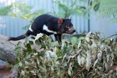 Tasmanian дьявол стоковые изображения