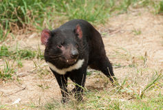 Tasmanian дьявол стоковая фотография