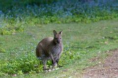 Tasmanian Bennett wallaby przy przygody zatoką, Bruny wyspa zdjęcia royalty free