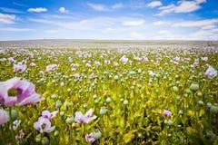 Tasmanian blommor arkivbilder