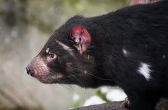 Tasmanian devil. Profile portrait of Tasmanian devil head royalty free stock images
