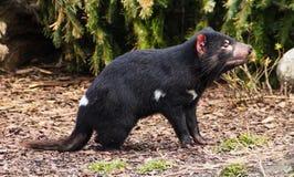 Tasmanian devil. Side view of Tasmanian devil outdoors stock photography