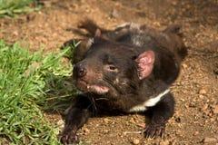 Tasmanian devil. Sarcophilus harrisii, Australia, Tasmania stock photo