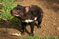 Tasmanian devil. Sarcophilus harrisii, Australia, Tasmania stock images