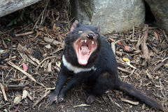 Tasmanian Devil. In the wild, Tasmania, Australia Royalty Free Stock Images
