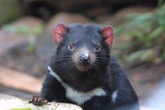 Tasmanian Devil. Wide eyed Tasmanian Devil looking royalty free stock photography