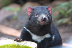 Tasmanian Devil. Alert Tasmanian devil on the prowl stock photo