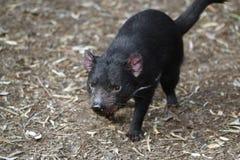 Tasmanian devil. In animal park in tasmania royalty free stock photography