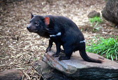 Tasmanian Devil. (Harrisii Sarcophilus), sitting on a rock Stock Photo