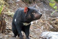 Tasmanian Devil. A Tasmanian Devil, a small marsupial native to the Australian island of Tasmania royalty free stock photos