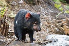Tasmanian Devil. A Tasmanian Devil, a small marsupial native to the Australian island of Tasmania royalty free stock photography
